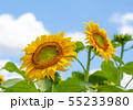 ひまわり、ヒマワリ、向日葵、ヒマワリ畑 55233980
