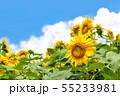 ひまわり、ヒマワリ、向日葵、ヒマワリ畑 55233981