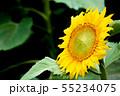 ひまわり、ヒマワリ、向日葵、黒背景 55234075