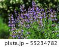 セージの花 55234782