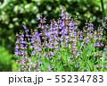 セージの花 55234783