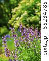 セージの花 55234785