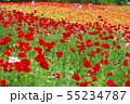 一面に咲くポピー 55234787