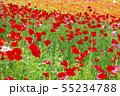 一面に咲くポピー 55234788