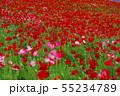 一面に咲くポピー 55234789