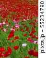一面に咲くポピー 55234790