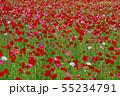 一面に咲くポピー 55234791