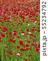 一面に咲くポピー 55234792