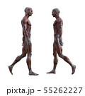 男性 解剖 筋肉 3DCG イラスト素材 55262227