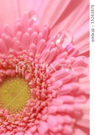 ピンクのガーベラに雫 55263876
