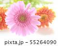 ピンクとオレンジのガーベラ 55264090