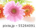 ピンクとオレンジのガーベラ 55264091