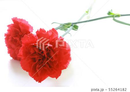 赤いカーネーション 55264182