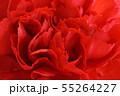 赤いカーネーション 55264227
