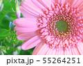 ピンクのガーベラ 55264251