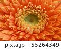 オレンジのガーベラ 55264349