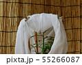 ナミアゲハの蛹(羽化直前) 55266087
