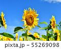 ひまわり畑 55269098