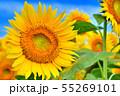 ひまわり畑 55269101