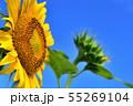 ひまわり畑 55269104