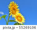 ひまわり畑 55269106