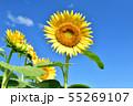 ひまわり畑 55269107