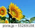ひまわり畑 55269108