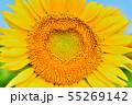 ひまわり畑 55269142