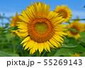 ひまわり畑 55269143