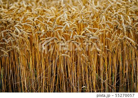 小麦畑 55270057