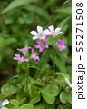紫のかわいい花(ムラサキカタバミ) 55271508
