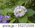 紫のアジサイ 55271509