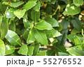 ローリエ 月桂樹 55276552