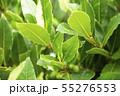 ローリエ 月桂樹 55276553