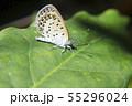 アボガドの葉の上で休む蝶々 ヤマトシジミチョウ 55296024