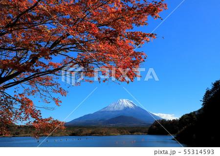 世界遺産 富士山 山梨 精進湖 紅葉 55314593