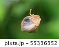 オオトリノフンダマシクモ(メス) 55336352