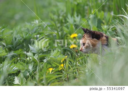草むらから顔を出す三毛猫 横顔 55341097