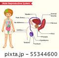 Scientific medical illustration of male 55344600