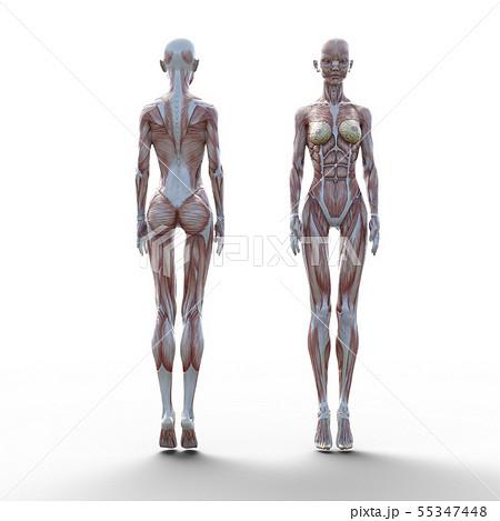 女性 解剖 筋肉 perming3DCG イラスト素材 55347448