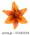 Vector Lily Flower 55382504
