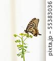 ナミアゲハの産卵とルーの花 55383036