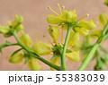 ナミアゲハの卵(孵化前日) 55383039