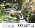 カルガモのヒナと母鳥 55385718