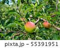 もうすぐ食べ頃、リンゴ園のリンゴ 55391951