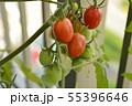 家庭栽培 ミニトマト ベランダ 完熟 オレンジ色 55396646