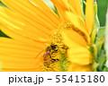 ひまわりにミツバチ 55415180