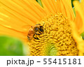 ひまわりにミツバチ 55415181