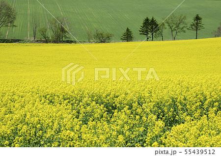一面の菜の花 55439512