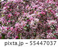 branches of flowering plum in city park 55447037